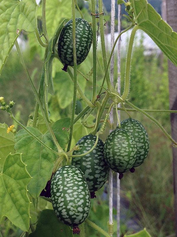 мелотрия шершавая семена